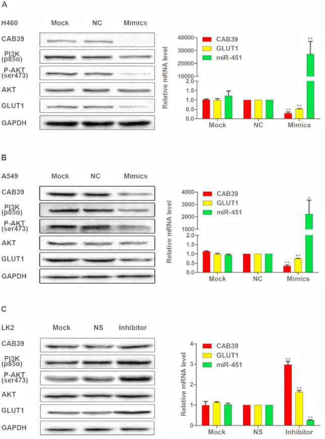 miR-451 down-regulated the expression of CAB39, PI3K (P85α), P-AKT (ser473), and GLUT1. Proteins of CAB39, PI3K (P85α), P-AKT (ser473), AKT, and GLUT1 were demonstrated by Western blotting and the mRNAs of miR-451, CAB39, and GLUT1 were demonstrated by qRT-PCR in H460 or A549 or LK2 cells. Mock, mock transfection or mock siRNA; NC, negative control; NS, nonspecific siRNA; Mimics, Hsa-miR-451 mimics; Inhibitor, miR-451 inhibitor; qRT-PCR, quantitative real-time reverse transcriptase polymerase chain reaction. * p