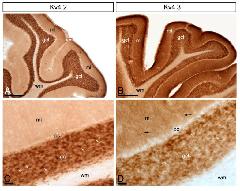 Regional and cellular distribution of voltage-gated potassium (Kv) channel subunits Kv4.2 and Kv4.3 in the cerebellum. ( A – D ) Immunoreactivity for Kv4.2 and Kv4.3 in the rat cerebellar cortex using a pre-embedding immunoperoxidase method at the light microscopic level. Parasagittal photomicrographs of the cerebellar cortex. The strongest immunoreactivity for Kv4.2 and Kv4.3 was found in the granule cell layer (gcl). Strong immunoreactivity for Kv4.3 was also observed in the molecular layer (ml), but weaker for Kv4.2. The white matter (wm) was always devoid of any immunolabelling. Immunoreactivity for Kv4.2 and Kv4.3 in the molecular layer was mostly neuropilar, but Kv4.3 labelling was also detected in cell bodies and dendrites of basket cells (black arrows). In the granule cell layer, Kv4.2 and Kv4.3 immunolabelling particularly concentrated in glomeruli (white arrows) and surrounding GCs. Scale bars: ( A , B ), 50 µm; ( C , D ), 25 µm.