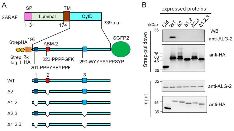 Deletion mutation of the SARAF cytosolic domain (CytD) affecting ALG-2 binding and ubiquitination. ( A ) Schematic diagram of the SARAF CytD, which contains three distinct motifs rich in Pro and aromatic residues (designated regions 1, 2 and 3). Expression plasmids for the SARAF CytDs of WT and various deletion mutants that were fused with Strep-tag II and 3xHA (StrepHA) at the  N -terminus and SGFP2 at the C-terminus were constructed. ( B ) Strep-pulldown assay. After HEK293 cells had been transfected with pStrepHA-SARAF_CytD-SGFP2 (WT and deletion mutants) and cultured for 24 h, the cells were lysed with lysis buffer HKM containing protease inhibitors, 0.2% Nonidet P-40 and 10 μM CaCl 2 . The cleared cell lysates ( Input ) were subjected to Strep-pulldown followed by WB with anti-ALG-2 and anti-HA as indicated.