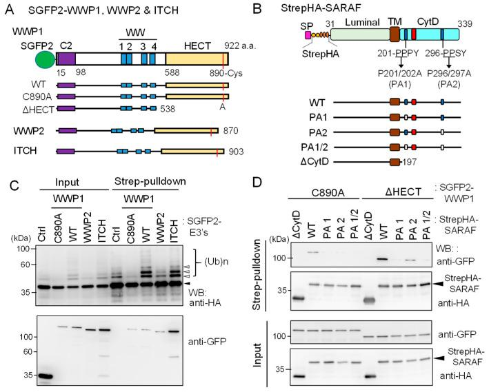 Ubiquitination of SARAF by WWP1 ubiquitin E3 ligase. ( A ) Schematic diagrams of SGFP2-fused NEDD4 family ubiquitin E3 ligases investigated in this study. The E3 ligases contain the Ca 2+ -binding C2 domain, four repeats of WW domains, and the catalytic HECT domain. The catalytic Cys residues in each E3 ligases are shown in red lines. The active site Cys of WWP1 was substituted with Ala (C890A) and the HECT domain was deleted (ΔHECT). ( B ) Schematic diagrams representing StrepHA-SARAF mutants of Pro-to-Ala substitutions at PP X Y motifs and the CytD truncation. ( C ) StrepHA-SARAF was co-expressed in HEK293 cells with SGFP2-fused E3 ligase WWP1 (WT or C890A mutant), WWP2, ITCH or with a control vector ( Ctrl ). The cells were lysed in lysis buffer HK containing 1% Nonidet P-40 and E3 ligase inhibitors (2 mM EDTA, 10 mM NEM) as well as the protease inhibitor cocktail supplemented with 20 μM MG132. The cleared cell lysate ( Input ) was subjected to Strep-pulldown followed by WB with anti-HA and anti-GFP mAbs. Unmodified and ubiquitinated StrepHA-SARAF bands are marked with an arrowhead and unfilled arrowheads, respectively. ( D ) Strep-pulldown assays were performed using StrepHA-SARAF mutants and E3 ligase-defective mutants of SGFP2-WWP1 (C890A or ΔHECT) to determine important regions in SARAF for interaction with WWP1.