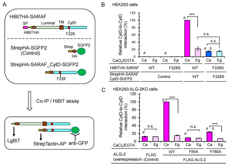 Importance of ALG-2-binding to SARAF for Ca 2+ -dependent interaction between the SARAF CytDs. ( A ) Schematic diagram of expressed proteins and co-IP/HiBiT assay. ( B ) After HEK293 cells in 6-cm dishes had been co-transfected with expression plasmids for full-length HiBiTHA-SARAF (WT or F228S mutant) and for either StrepHA-SGFP2 (Control) or StrepHA-SARAF_CytD-SGFP2 (WT or F228S mutant) and cultured for 24 h, the cells were lysed with lysis buffer HKM containing 1% Nonidet P-40 supplemented with protease inhibitors, 10 mM NEM and 10 μM CaCl 2  ( Ca ) or 5 mM EGTA ( Eg ). SGFP2-fused proteins were immunoprecipitated with anti-GFP pAb, and the amounts of co-immunoprecipitated HiBiTHA-SARAF were estimated by the lytic HiBiT assay with LgBiT. The amounts of immunoprecipitated SGFP2-fused proteins were normalized by the StrepTactin-AP method as described in Materials and Methods. The relative amount of HiBiTHA-SARAF WT co-immunoprecipitated with StrepHA-SARAF_CytD-SGFP2 WT was expressed as 100% of relative interaction activity. The co-IP/HiBiT assay was performed in duplicate and repeated three times. Data are expressed as mean ± SEM ( n  = 3). Statistical significance by Tukey's test is indicated in three different ways: asterisks for comparison between conditions of plus and minus Ca 2+ ;  a  for comparison with WT in the presence of Ca 2+ ;  b  for comparison with the control in the presence of Ca 2+ .  p  values were below 0.001 for all cases indicated (***,  a , and  b ). n.s., not significant. ( C ) Enhancement of the Ca 2+ -dependent CytD-to-CytD interaction of SARAF in HEK293 ALG-2KO cells by co-overexpression of FLAG-ALG-2. HEK293 ALG-2KO cells were co-transfected with expression plasmids for (i) full-length HiBiTHA-SARAF (WT), (ii) StrepHA-SARAF_CytD-SGFP2 (WT) and (iii) FLAG empty vector or FLAG-ALG-2 (WT, F85A or Y180A) and cultured for 24 h. The cells were lysed and subjected to HiBiT assay as described above. Relative interaction by co-overexpression of ALG-2 WT in the presence of Ca 2+  was expressed as 100% activity. Data are expressed as mean ± SEM ( n  = 3). Statistical significance by Tukey's test is indicated by asterisks,  a , and  b  as described in ( B ) for comparison with the presence or absence of Ca 2+  (asterisks), WT ( a ) and control ( b ).
