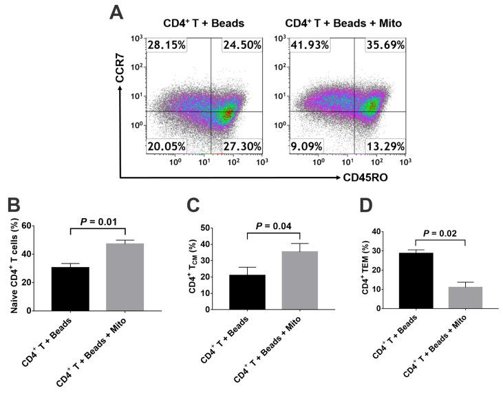 Effects of platelet-derived mitochondria on the differentiation of memory CD4 + T cells. The purified CD4 + T cells (1 × 10 5 cells/well) from PBMC of healthy donors ( n = 3) were activated with T-cell activator CD3/CD28 Dynabeads in the presence or absence of 100 μg/mL platelet-derived mitochondria ( n = 3). Untreated CD4 + T cells served as negative control. ( A ) Flow cytometry analysis with human memory CD4 T cell-associated markers CD45RO and CCR7, with three subsets including CD45RO − CCR7 + Naïve T cells, CD45RO + CCR7 + T CM cells, and CD45RO + CCR7 − T EM cells. Dot plots of flow cytometry were representative of three experiments with similar results. ( B ) Upregulation of the percentage of naïve CD4 + T cells by platelet-derived mitochondria. ( C ) Increase in the percentage of CD4 + T CM cells by platelet-derived mitochondria. ( D ) Decrease in the percentage of CD4 + T EM cells by platelet-derived mitochondria. Data represent mean ± SD. n = 3.