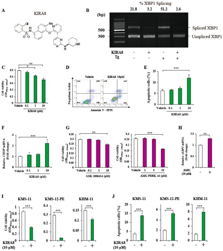 Effects of kinase-inhibiting RNase attenuator 8 (KIRA8) and protein kinase R-like endoplasmic reticulum kinase (PERK) inhibitors on human myeloma cells. ( A ) The structure of KIRA8 ( B ) Pst I-digested X-box Binding Protein 1 (XBP1) cDNA amplicons from IM-9 cells treated for 24 h (h) with vehicle (dimethyl sulfoxide, DMSO) or 10 μM of KIRA8 and 500 nM of thapsigargin (Tg). Top, the intensity ratios of the spliced form to the total XBP1 . ( C – E ) IM-9 cells were treated with vehicle (DMSO) or KIRA8 with the indicated concentrations for 24 h. ( C ) The cell viability was assessed using the cell counting kit-8 (CCK-8) assay. ( D , E ) Apoptosis was assessed using FACS analysis of annexin V/propidium iodide (PI)–stained myeloma cells treated with vehicle or KIRA8 for 24 h. Annexin V-positive/PI-negative cells are regarded as cells in apoptosis. Representative FACS plots show annexin V/PI-stained cells ( D ) and the % apoptotic cells ( E ). ( F ) Quantitative RT-PCR of the relative CHOP mRNAs from IM-9 cells treated with vehicle (DMSO) or KIRA8 for 24 h. ( G ) The cell viability in IM-9 cells treated with GSK 2606414 or AMG for 24 h. ( H ) Quantitative RT-PCR of the relative sXBP1 mRNA levels from IM-9 cells treated with vehicle (DMSO) or 25 μM of AMG for 24 h. ( I , J ) The cell viability ( I ) and apoptosis ( J ) assay in three different human myeloma cells—KMS-11, KMS-12-PE, and KHM-11—treated with vehicle (DMSO) or 10 μM of KIRA8 for 24 h. The data shown are the mean ± SEM. For all experiments, three independent biological samples were used. *, p