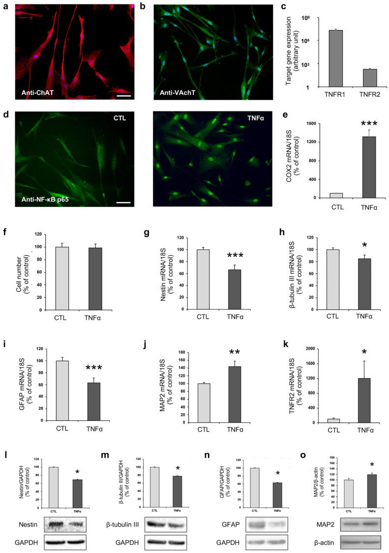 TNFα affects hfNBM cell phenotype. ( a , b ) Representative images showing ( a ) ChAT and ( b ) VAchT expression in hfNBMs as evaluated by immunofluorescence analysis (DAPI counterstained nuclei, scale bar 100 µm). ( c ) Relative mRNA expression by <t>qRT-PCR</t> analysis of TNFR1 and TNFR2 receptors normalized over 18S ribosomal subunit, taken as reference gene, and reported as mean ± SEM ( n = 6). ( d ) Immunofluorescent analysis of NF-κB p65 nuclear translocation after TNFα stimulus (10 ng/mL, 3 h) in comparison to untreated cells (CTL; scale bar 100 µm). ( e ) COX2 mRNA expression in hfNBMs by qRT-PCR after TNFα stimulation (10 ng/mL, 24 h). Data are normalized over 18S ribosomal RNA subunit and reported as percentage of untreated cells (CTL) and displayed as mean ± SEM of three separate experiments performed in triplicate (unpaired Student's t -test; *** p