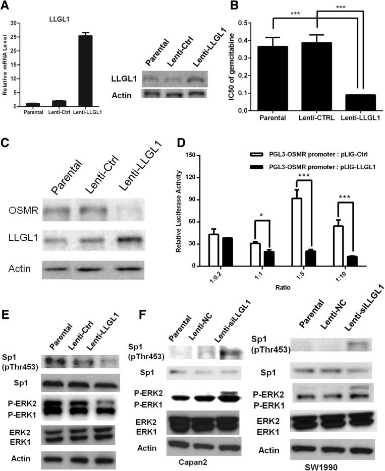 LLGL1 inactivated ERK2/Sp1 signaling to suppress OSMR expression. ( A ) Increased LLGL1 expression was observed in PANC1 cells after transduction with lenti-LLGL1. ( B ) LLGL1 overexpression sensitized PANC1 cells to gemcitabine treatment (2-way analysis of variance, ∗∗∗ P