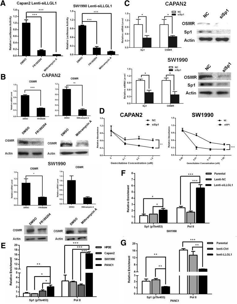 Activation of ERK2/Sp1 signaling and recruitment of Sp1(pThr453) to the OSMR promoter induced up-regulation of OSMR. ( A ) FR180204 (100 μmol/L) and mithramycin A (500 nmol/L) treatment effectively reduced the OSMR promoter activity in Capan2 and SW1990 cells, and ( B ) inhibited OSMR expression in LLGL1-inhibited Capan2 and SW1990 cells. ( C ) Knockdown of Sp1 by siRNAs suppressed OSMR expression and ( D ) improved gemcitabine response in LLGL1-inhibited Capan2 and SW1990 cells (2-way analysis of variance, ∗∗ P