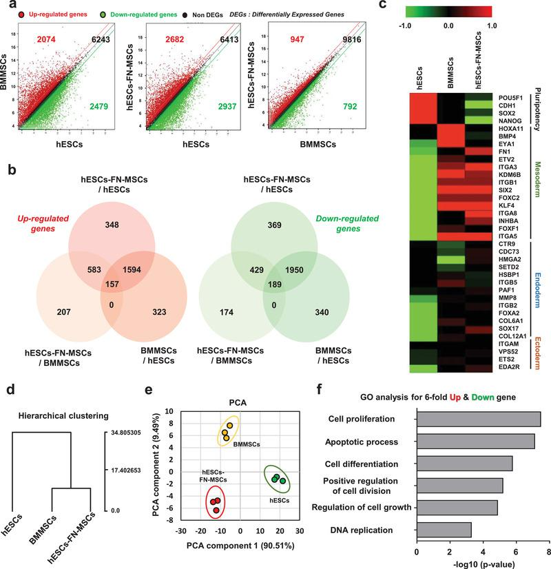 Transcriptomic analysis elucidates the biological similarities between hESC‐FN‐MSCs and BMMSCs. a,b) Scatter plot and Venn diagram of significant differentially expressed genes (SDEs) versus different groups (BMMSCs vs hESCs, hESC‐FN‐MSCs vs hESCs, and hESC‐FN‐MSCs vs BMMSCs). hESC‐FN‐MSCs were more similar to BMMSCs than to hESCs. c) Heat map based on the log 2 of fragments per kilobase of transcript per million mapped reads (FPKM) for signature genes of pluripotency, mesoderm, endoderm, and ectoderm differentiation for hESCs, BMMSCs, and hESC‐FN‐MSCs samples. A heat map based on the signature genes of mesoderm differentiation showed similar upregulated gene expression patterns between hESC‐FN‐MSCs and BMMSCs. d) Hierarchical clustering of average gene expression profiles in hESCs, BMMSCs, and hESC‐FN‐MSCs. hESC‐FN‐MSCs were very similar to BMMSCs, but showed distinct differences from hESCs. e) PCA of the top 500 high variance genes within hESCs, BMMSCs, and hESC‐FN‐MSCs samples using the first two principal components. Each spot represents a single RNA‐seq. hESC‐FN‐MSCs were more similar to BMMSCs than to hESCs, n = 3. f) Significant GO terms for associated biological processes from sixfold up‐ and downregulated genes in hESC‐FN‐MSCs compared to hESCs and BMMSCs. Terms related to biological processes indicate high proliferation and cell replication. Bar charts present the six most significant terms in each category for each cell type sorted by mean −log10 ( P ‐values).