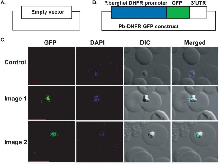 Plasmodium berghei DHFR promoter is recognized by the B. microti parasite. ( A ) The map of an empty plasmid construct used as a control. ( B ) The map of a transient transfection construct containing a Pb-DHFR promoter and a GFP gene. ( C ) The green image represents the parasite expressing GFP and DAPI represent the parasite nucleus stained with DAPI. DIC is showing the infected RBC. Control represents the parasite transfected with control plasmid without any DHFR promoter and GFP gene. Scale bar represents 5 μm.