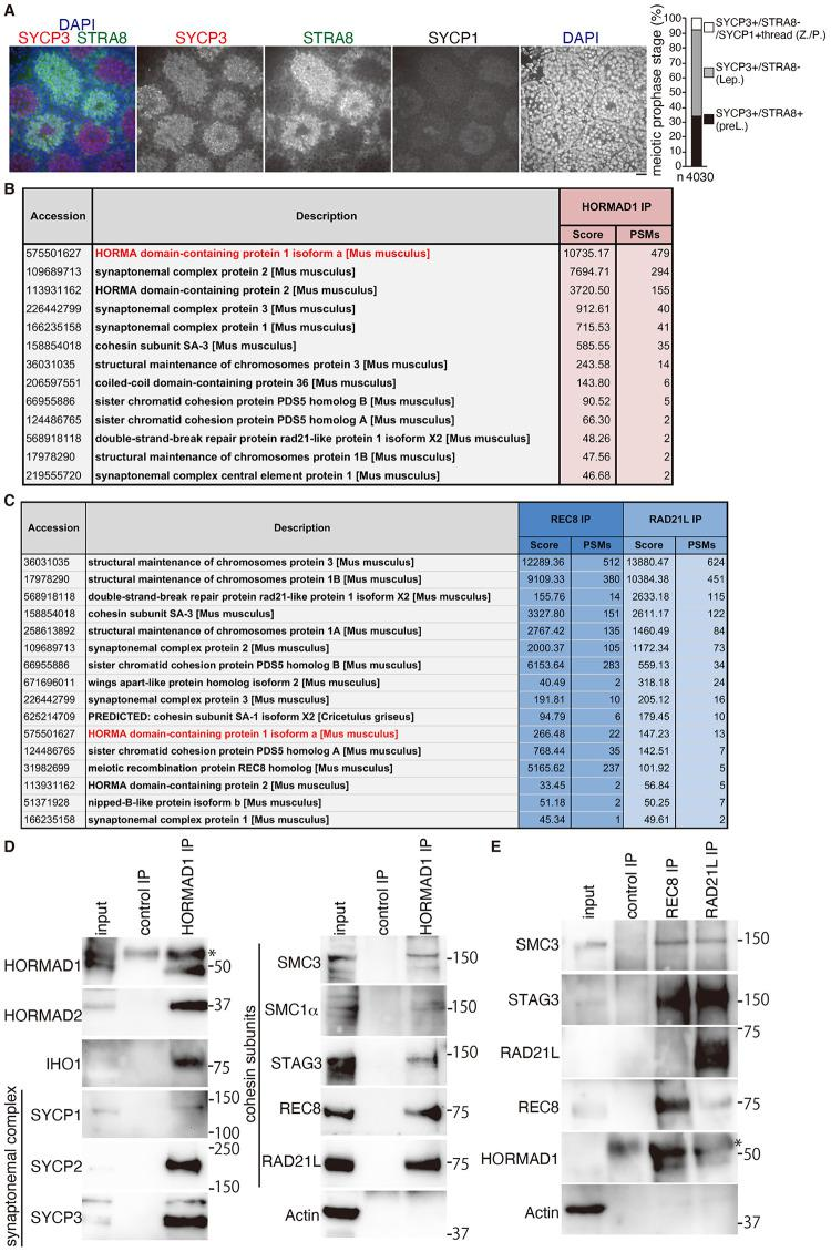 HORMAD1 interacts with cohesin and chromosome axis proteins. (A) WT neonatal male mice were subjected to consecutive injection of a RA synthesis inhibitor WIN18,446, followed by injection of RA. Seminiferous tubule section at 8 days post treatment were stained for SYCP3, STRA8, SYCP1(Cy5) and DAPI. Scale bar: 25 μm. Proportion of the meiotic prophase stages of spermatocytes is shown on the right. n: number of SYCP3 positive cells examined. preL: SYCP3+/STRA8+ preleptotene, Lep: SYCP3+/STRA8- leptotene. As weak staining of SYCP1 over spermatocyte nuclei was detected even in preleptotene and leptotene, spermatocytes with thread-like pattern of SYCP1 staining was defined as Z./P.: zygotene or pachytene. (B) The immunoprecipitates by anti-HORMAD1 antibody from the chromatin-bound fraction of the testis were subjected to liquid chromatography tandem-mass spectrometry (LC-MS/MS) analyses. The proteins identified by the LC-MS/MS analyses are listed with the number of peptide hits and Mascot scores. (C) The immunoprecipitates by anti-REC8 and anti-RAD21L antibodies from the chromatin-bound fraction of the testis were subjected to LC-MS/MS analyses as in (B). (D) WB analysis of HORMAD1 immunoprecipitates with indicated antibodies. HORMAD1 immunoprecipitates were run on 4–12% NuPAGE Bis-Tris in MOPS-SDS buffer. * indicates a band that cross-reacted to IgG heavy chain. (E) WB analysis of REC8 and RAD21L immunoprecipitates with indicated antibodies. REC8 and RAD21L immunoprecipitates were run on 4–12% NuPAGE Bis-Tris in MOPS-SDS buffer (for immunoblots of REC8, HORMAD1 and Actin) and 7% NuPAGE Tris-Acetate in Tris-Acetate-SDS buffer (for immunoblots of SMC3, STAG3 and RAD21L). * indicates a band that cross-reacted to IgG heavy chain.