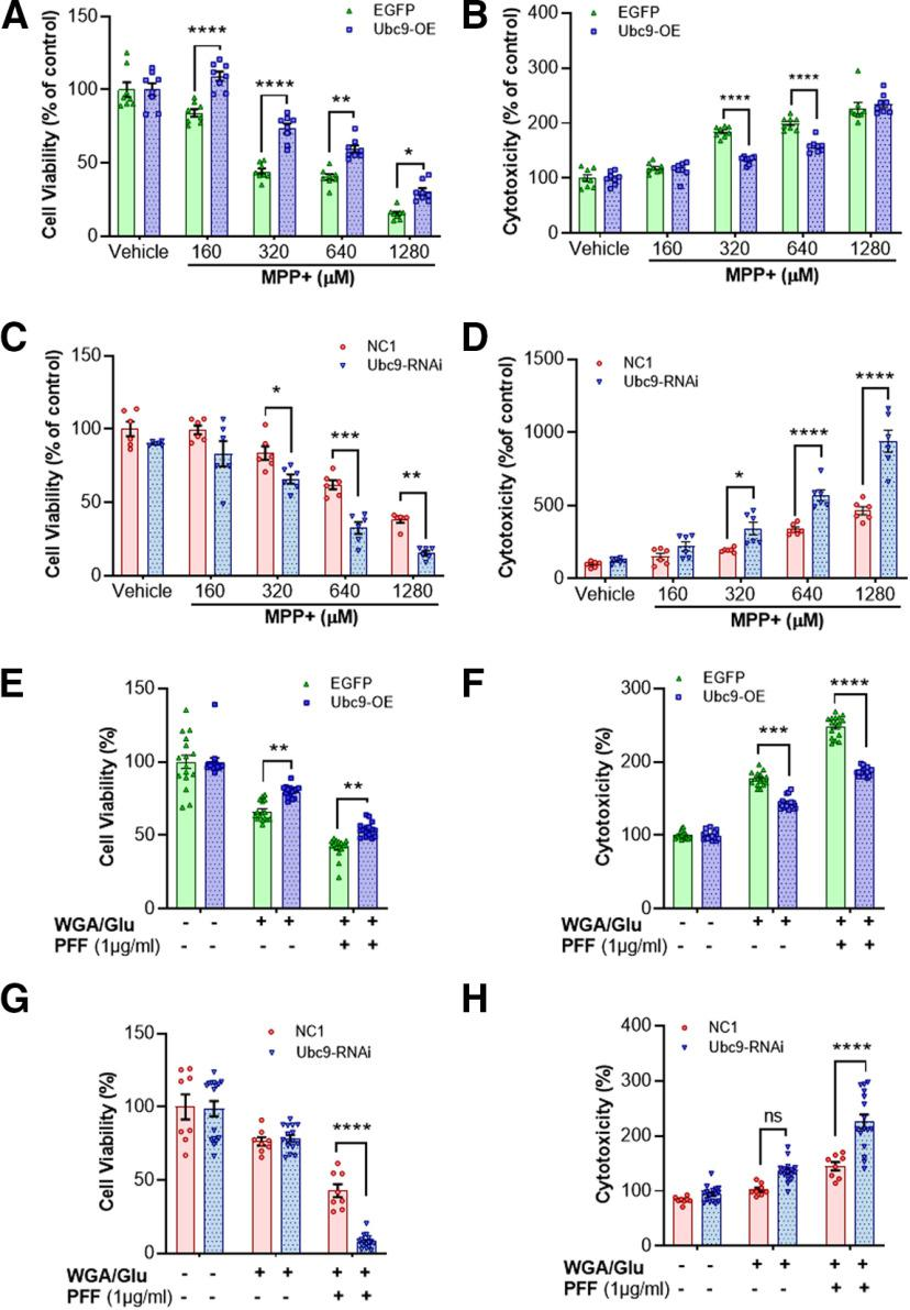 Ubc9 expression protects <t>N27</t> cells from MPP+ or PFF-induced toxicity, enhancing cell viability and reducing cytotoxicity. A , MPP+ exposure reduces the number of viable cells in EGFP cells in a dose-dependent manner, whereas Ubc9 overexpression protects N27 cells from MPP+ toxicity in MTT assay. B , In LDH assay, Ubc9 overexpression reduces the toxic effect derived from MPP+ exposure. C , In MTT assay, Ubc9 knock-down by <t>RNAi</t> exacerbates the cell viability induced by MPP+ exposure, compared with NC1 random cocktail control. D , In LDH assay, Ubc9-RNAi significantly increases the cytotoxicity derived from MPP+ treatment. E , In MTT assay, PFF treatment reduces cell viability in EGFP cells compared with WGA/GluNAc-treated control, while Ubc9 overexpression ameliorates the toxic effect from PFF. F , In LDH assay, PFF-induced cytotoxicity was suppressed by Ubc9 overexpression. G , In MTT assay, Ubc9-RNAi further exacerbates the cell viability induced by PFF treatment, compared with NC1 random cocktail control with WGA/GluNAc. H , In LDH assay, Ubc9 knock-down substantially enhances the cytotoxicity derived from PFF treatment compared with NC1 control. All the treatments were exposed for 24 h, and each dot represents the number of experiments and each experiment was performed in triplicate. Statistical analysis was applied using two-way ANOVA, Tukey's post hoc test. Scattered dot plots represent mean ± SEM; * p