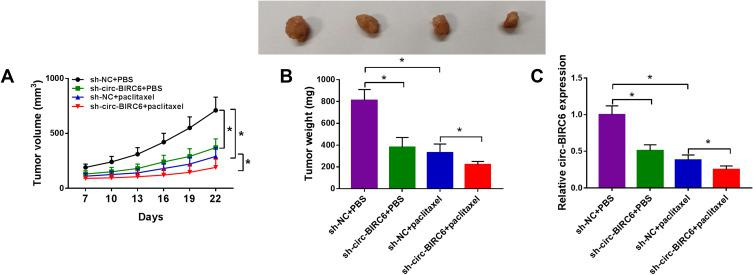Combination of circ-BIRC6 interference and paclitaxel treatment inhibited tumor growth in vivo. Xenograft model was established by injection Hep3B cells stably transfected with sh-NC or sh-circ-BIRC6. These mice were treated with PBS or paclitaxel. ( A and B ) Tumor volume and weight were detected. ( C ) Relative expression of circ-BIRC6 was analyzed using the qRT-PCR analysis in resected tumor tissues. * P