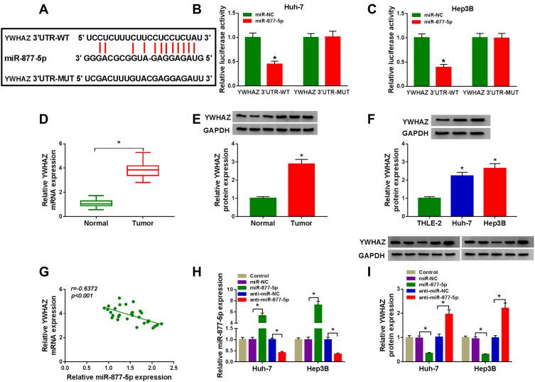 MiR-877-5p directly targeted YWHAZ in HCC cells. ( A ) The putative binding sites between miR-877-5p and YWHAZ were predicted by starBase v2.0. ( B and C ) Relative luciferase activity was assessed in Huh-7 and Hep3B cells co-transfected with YWHAZ 3ʹUTR-WT or YWHAZ 3ʹUTR-MUT and miR-877-5p or miR-NC. ( D and E ) The mRNA and protein expression of YWHAZ were determined in normal tissues and HCC tissues by qRT-PCR and Western blot analyses, respectively. ( F ) YWHAZ protein level was evaluated by Western blot assay in THLE-2 cells and HCC cells (Huh-7 and Hep3B). ( G ) The association between miR-877-5p abundance and YWHAZ mRNA level was measured in HCC tissues. ( H ) The expression of miR-877-5p was determined by qRT-PCR analyse in control group or HCC cells (Huh-7 and Hep3B) transfected with miR-NC, miR-877-5p, anti-miR-NC, or anti-miR-877-5p. ( I ) YWHAZ protein level was detected by Western blot analyses in control group or HCC cells (Huh-7 and Hep3B) transfected with miR-NC, miR-877-5p, anti-miR-NC, or anti-miR-877-5p. * P