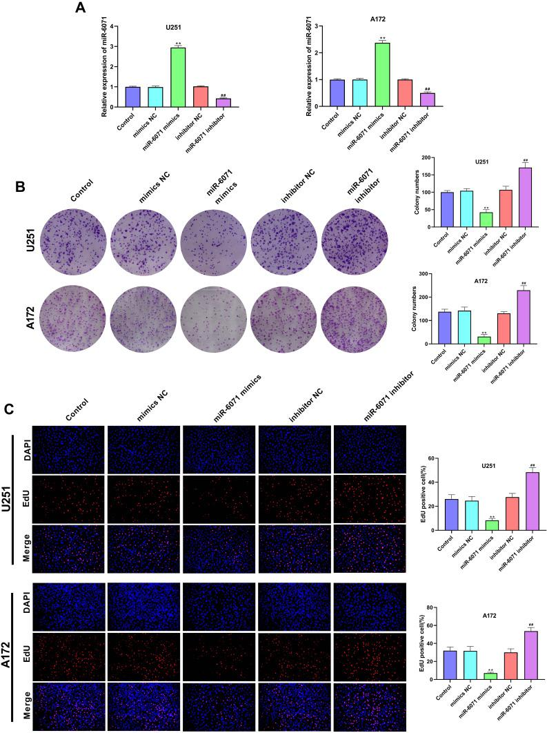 miR-6071 inhibited the proliferation ability of U251 and A172 cells. ( A ) The expression of miR-6071 in transfected U251 and A172 cells was detected by qRT-PCR. ( B ) The colonies number of U251 and A172 cells was detected by colony formation assay. ( C ) The proliferation of U251 and A172 cells was tested by EdU assay. **P