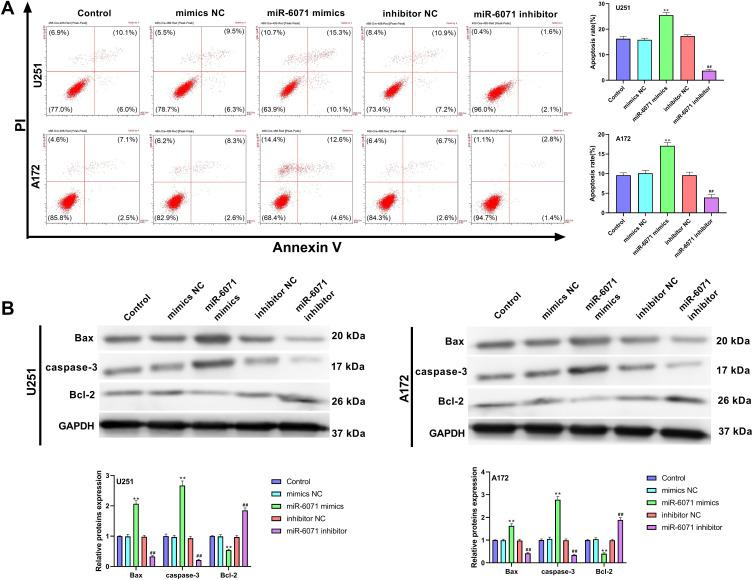 miR-6071 promoted the apoptosis ability of U251 and A172 cells. ( A ) The apoptosis of U251 and A172 cells was detected by flow cytometry. ( B ) The expressions of Bax, caspase-3 and Bcl-2 in U251 and A172 cells were measured by Western blot. **P