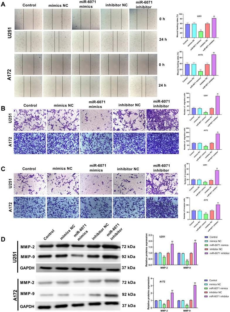 miR-6071 inhibited the ability of migration and invasion in U251 and A172 cells. ( A ) The migration of U251 and A172 cells was tested by wound-healing assay. ( B ) The migration of U251 and A172 cells was tested by transwell assay. ( C ) The invasion of U251 and A172 cells was tested by transwell assay. ( D ) The expressions of MMP-2 and MMP-9 in U251 and A172 cells were measured by Western blot. **P