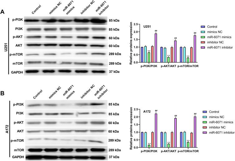 miR-6071 inhibited the activation of PI3K/AKT/mTOR pathway in U251 and A172 cells. ( A ) The expressions of p-PI3K, PI3K, p-AKT, AKT, p-mTOR and mTOR in U251 cells were measured by Western blot. ( B ) The expressions of p-PI3K, PI3K, p-AKT, AKT, p-mTOR and mTOR in A172 cells were measured by Western blot. **P