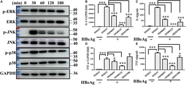 MAPK pathway was activated in HBeAg‐stimulating macrophages and mediated the production of inflammatory cytokines. (A) After RAW264.7 macrophages treated with HBeAg for various times (0, 30, 60, 120, 180 min), the expression of non‐ phosphorylation and phosphorylation of ERK, JNK and p38 was detected by Western blot. RAW264.7 macrophages were pre‐treated with DMSO or inhibitor of ERK(PD98059 20 μmol/L), JNK (SP600125 20 μmol/L) and P38(SB203580 20 μmol/L) for 1 h, respectively, and then stimulated with HBeAg for 4 h, and the expression and production of IL‐6 (B, C) and TNF‐α (D, E) were examined with q‐PCR and ELISA. Data are representative of three or four independent experiments (mean ± SD of triplicates in B‐E). * P