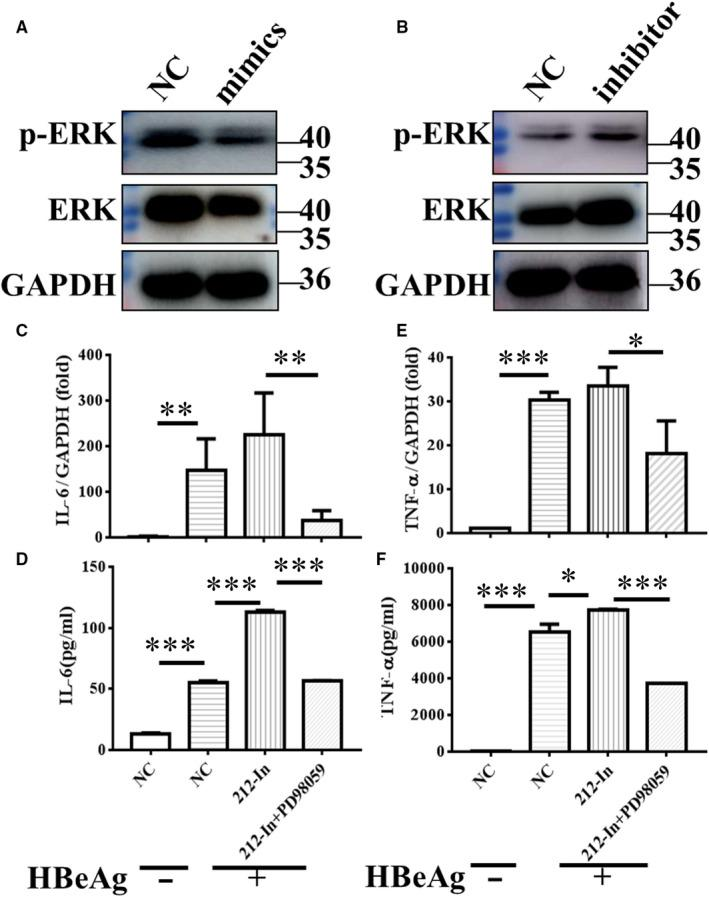 miR‐212‐3p regulated HBeAg‐inducing inflammatory cytokines production via targeting MAPK1. Changes in non‐ phosphorylation and phosphorylation of ERK in RAW264.7 macrophages after transfection with miR‐212‐3p mimics or miR‐212‐3p inhibitor were determined with Western blot analysis (A, B). miR‐212‐3p inhibitor or negative control miRNA were transfected into RAW264.7 for 40 h, then cells were treated with DMSO or inhibitor of ERK (PD98059, 10 μmol/L) for 2 h, and cells were stimulated with HBeAg for 4 h. The expression and production of IL‐6 (C, D) and TNF‐α (E, F) were evaluated with q‐PCR and ELISA. Columns 1 and 2 represent the change of cytokine expression and secretion with or without HBeAg stimulation after transfection of NC, respectively (C‐F). Data are shown by three or four independent experiments (mean ± SD of triplicates in C‐F). * P
