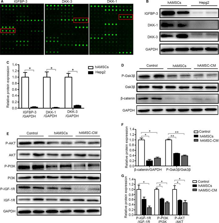 hAMSC‐derived DKK‐3, DKK‐1 and IGFBP‐3 reduced activation of Wnt/β‐catenin and IGF‐1R/PI3K/AKT signalling pathway of Hepg2 cells. A, Representative array images are shown (n = 4). DKK‐3, DKK‐1 and IGFBP‐3 are highlighted with red boxes. B, Western blot analysis of DKK‐3, DKK‐1 and IGFBP‐3 protein levels in hAMSCs and Hepg2 cells. C, Quantitative analysis of the expression of IGFBP‐3, DKK‐1 and DKK‐3 in hAMSCs and Hepg2 cells as in (B). D, Hepg2 cells were treated with normal medium (control), hAMSCs and hAMSC‐CM. Western blot analysis of protein levels of β‐catenin, GSK3β and P‐GSK3β in Hepg2 cells of each treatment group. E, Western blot analysis of protein levels of IGF‐1R, P‐ IGF‐1R, PI3K, P‐ PI3K, AKT and P‐AKT in Hepg2 cells of control, hAMSCs and hAMSC‐CM group. F, Quantitative analysis of the expression of β‐catenin and P‐GSK3β in Hepg2 cells of different groups as in (D). G, Quantitative analysis of the expression of P‐ IGF‐1R, P‐PI3K and P‐AKT in Hepg2 cells of different groups as in (E)