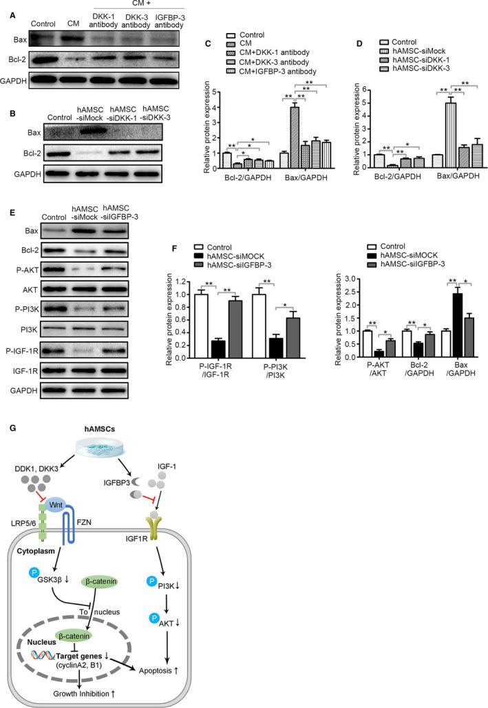 DKK‐3, DKK‐1 and IGFBP‐3 derived from hAMSCs inhibit survival of Hepg2 cells through blocking Wnt/β‐catenin and IGF‐1R/PI3K/AKT pathway. A, Immunoblot analysis was performed on normal medium (Control), CM, CM + DKK‐1 antibody, CM + DKK‐3 antibody and CM + IGFBP‐3 antibody‐treated Hepg2 cell lysate using antibodies against GAPDH, Bax and Bcl‐2. B, Hepg2 cells were co‐cultured with normal medium (Control), hAMSC‐siMOCK, hAMSC‐siDKK‐1 and hAMSC‐siDKK‐3. Western blot analysis showed that the expression level of Bcl‐2 was increased and Bax was decreased in hAMSC‐siDKK‐3 group and hAMSC‐siDKK‐1 group when compared with hAMSC‐siMOCK group. C, Quantitative analysis of the expressions of Bcl‐2 and Bax in Hepg2 cells of different groups as in (A). D, Quantitative analysis of the expressions of Bcl‐2 and Bax in Hepg2 cells of different groups as in (B). E, Hepg2 cells were co‐cultured with normal medium (Control), hAMSC‐siMOCK and hAMSC‐siIGFBP‐3. The expression levels of Bax, Bcl‐2, P‐AKT, AKT, P‐PI3K, PI3K, P‐IGF‐1R, IGF‐1R and GAPDH in Hepg2 cells of different groups were determined by Western blot analysis. F, Quantitative analysis of the expressions of P‐IGF‐1R, P‐PI3K, P‐AKT, Bcl‐2 and Bax in Hepg2 cells of different groups as in (E). G, Schematic diagram of the extracellular and intracellular mechanisms of DKK‐3, DKK‐1 and IGFBP3 effect on the apoptosis and proliferation of Hepg2 cells. DKK‐3 and DKK‐1 secreted by hAMSCs can inhibit Wnt/β‐catenin signalling by sequestering LRP5/6, triggering apoptosis and inhibiting cell growth; IGFBP‐3 secreted by hAMSCs can inhibit IGF1 signalling by sequestering IGF1, resulting in cell apoptosis