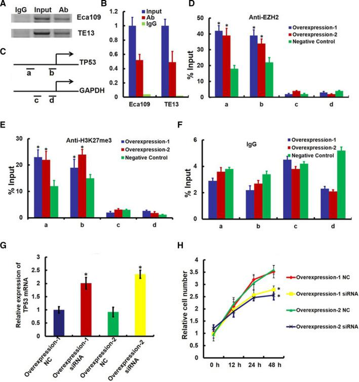 lncRNA‐HEIH‐induced down‐expression of TP53 requires EZH2. (A) RNA immunoprecipitation (RIP) experiments were performed using the EZH2 antibody to immunoprecipitate (IP) and a primer to detect lncRNA‐HEIH. (B) RIP enrichment was determined as lncRNA‐HEIH associated with EZH2 IP relative to an input control. (C‐F) ChIP analyses of lncRNA‐HEIH‐overexpressing Eca109 cells (Overexpression‐1 and Overexpression‐2) were conducted on TP53 (primer set a and b) and GAPDH (primer c and d) promoter regions using the indicated antibodies. Enrichment was determined relative to input controls. Asterisk indicates a significant change ( P