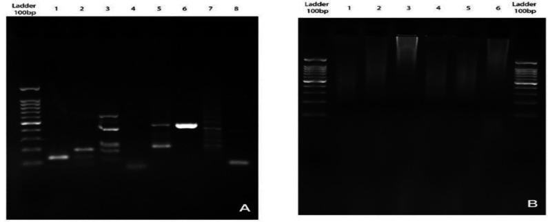 The results of <t>3C</t> library inverse PCR showed variable sizes of captured fragments due to chimeric products in 3C library preparation (A). Sample NO 8 was selected for translocation PCR primer design which has the acquirable intra-chromosomal interaction. There were no specific DNA bands obtained from genomic DNA Inverse PCR (B).This could be due to the long distance between the viewpoint locus and juxtaposed sequences in the genomic DNA.