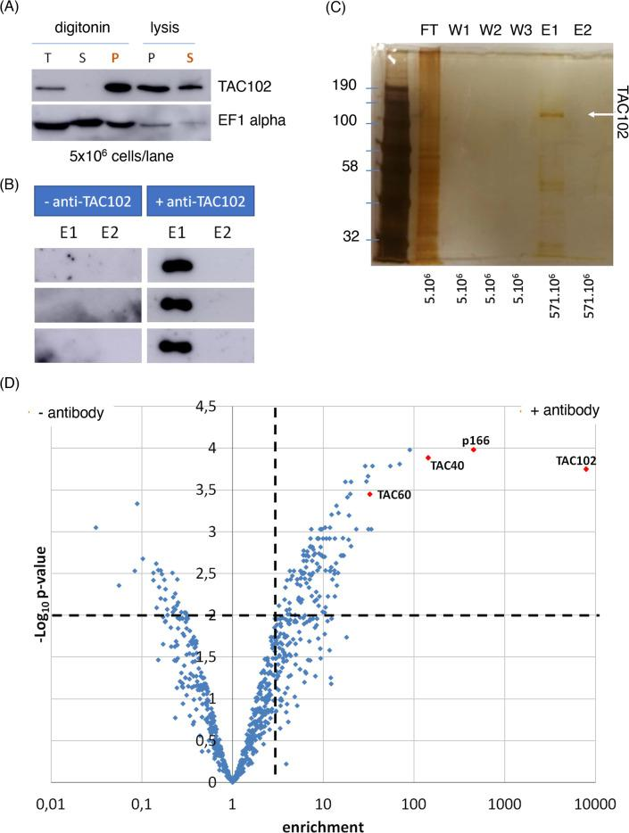 TAC102 enrichment and immunoprecipitation. The experiments were done in three independent replicates and all showed similar results. ( A ) Western blot analysis of the digitonin fractionation and subsequent lysis of the pellet fraction with 1% (v/v) Nonidet P-40 of whole cell protein from procyclic cells. T: total; S: supernatant; P: pellet. In orange: the pellet from the digitonin fractionation was used for the subsequent Nonidet P-40 lysis. The elongation factor EF1α served as a control. ( B ) Western blot analysis of the elutions (E1 and E2) of TAC102 immunoprecipitation replicates. ( C ) Silver stained SDS PAGE of TAC102 immunoprecipitation fractions. On the left are the molecular weights in kDa. Under each lane are written the equivalence of cells loaded. TAC102, indicated by a white arrow, was detected in E1. FT: flow-through; W1-W2-W3: washes; E1-E2: elutions. ( D ) Volcano plot representing the significance versus enrichment of the results from mass spectrometry analysis of TAC102 immunoprecipitation. A total of 775 proteins were identified from which 100 proteins were significantly enriched in the TAC102 immunoprecipitation (p ≤ 0.01). The two dotted lines represent the cut-off used (p ≤ 0.01 and enrichment  >  3). The protein the most enriched in the condition was TAC102. Three other TAC components were also highly enriched (p166, TAC40 and TAC60).