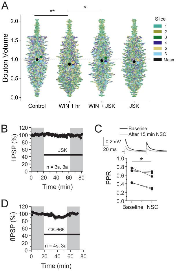 Individual bouton sizes are altered by CB 1 -iLTD and dependent on actin dynamics but actin inhibitors have no effect on basal transmission. ( A ) Quantification of bouton volume normalized to control by slice. Activation of CB 1 receptors with WIN for 25 min led to decreased bouton volume that was blocked by treatment with jasplakinolide (JSK, 250 nM). Superplot shows individual bouton volume values color-coded by slice in swarmplot with solid larger dots overlaid representing mean bouton volume per slice. Overall mean of each slice is given by solid black circle with 95% CI represented by the vertical black line. Control: 1.0 ± 0.02 vs. WIN 1 hr: 0.88 ± 0.02 vs. WIN + JSK: 0.97 ± 0.02 vs. JSK: 0.95 ± 0.02 (Mean ± S.E.M.); F[3,20]=7.33, p=0.0017, one-way ANOVA with post-hoc Tukey test for multiple comparisons. WIN 1 hr vs. Control: CI [−0.20,–0.04], p=0.0016, WIN 1 hr vs. WIN + JSK: CI [−0.17,–0.017], p=0.012. n = number of slices (three images/slice, one slice/rat, six rats). 95% Confidence intervals (CI) are given as CI[lower CI, upper CI]. p-Values are exact. ( B ) JSK (250 nM) had no effect on baseline. JSK: 97.76 ± 2.8, one-sample t-test, p > 0.05. For all electrophysiology figures, averaged summary data expressed as normalized change from baseline ± S.E.M. and n = number of slices ( s ), number of animals ( a ). ( C ) NSC application on baseline caused decreased PPR (measured at 35–45 min) suggesting a presynaptic target. Pre: 0.65 ± 0.06 vs. NSC: 0.57 ± 0.08, paired-sample t-test, p