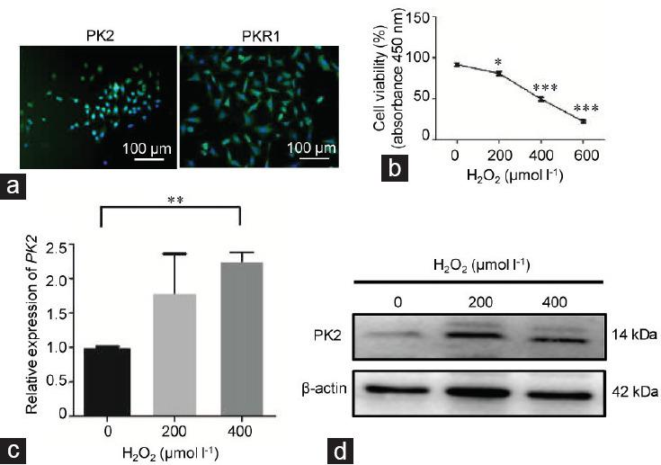 PK2 expression and oxidative stress in GC-2 cells. GC-2 cells were cocultured with various concentrations of H 2 O 2 (0, 200, 400, and 600 μmol l −1 ) for 6 h. ( a ) The basal expression levels of PK2 and PKR1 in GC-2 cells were determined by immunofluorescence. The scale bars represent 100 μm. ( b ) The viability of GC-2 cells in the different groups was determined by CCK8 assay. ( c ) Alterations in the mRNA expression of PK2 in GC-2 cells in the different groups were determined by qPCR. ( d ) Alteration of the protein expression of PK2 in GC-2 cells in the different groups was analyzed by Western blot. All experiments were replicated in three independent experiments from different cell samples. Each treatment group was compared with the control group, * P
