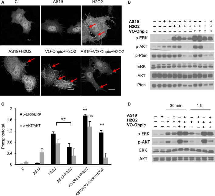Catalytic inhibition of PTEN rescues PI(3,4)P2 levels and ERK phosphorylation. (A) HeLa cells were first transfected with GFP‐tagged TAPP1‐PH domain plasmid; 6 h later they were treated overnight with vehicle or AS19 followed by 1 m m H 2 O 2 for 1 h. Cells were then fixed and mounted. Fluorescent images of PI(3,4)P2 levels are shown. Cells pretreated with 2 µ m PTEN inhibitor (VO‐OHpic) were used as a control. Arrows indicate PI(3,4)P2 signal. Scale bars: 10 μ m . (B) PTEN inhibition rescues MAPK activation. HeLa cells were treated with vehicle or AS19 for 24 h, followed by 2 µ m PTEN inhibitor for 2 h, then 1 m m H 2 O 2 for 4 h. Cell lysates were analyzed for the indicated antibodies. (C) Bar graph summarizing ERK and AKT phosphorylation levels for each treatment. Data are the means ± SEM from three independent experiments, each in duplicates. p‐ERK/ERK, one‐way ANOVA, F (5, 12) = 101.1, P