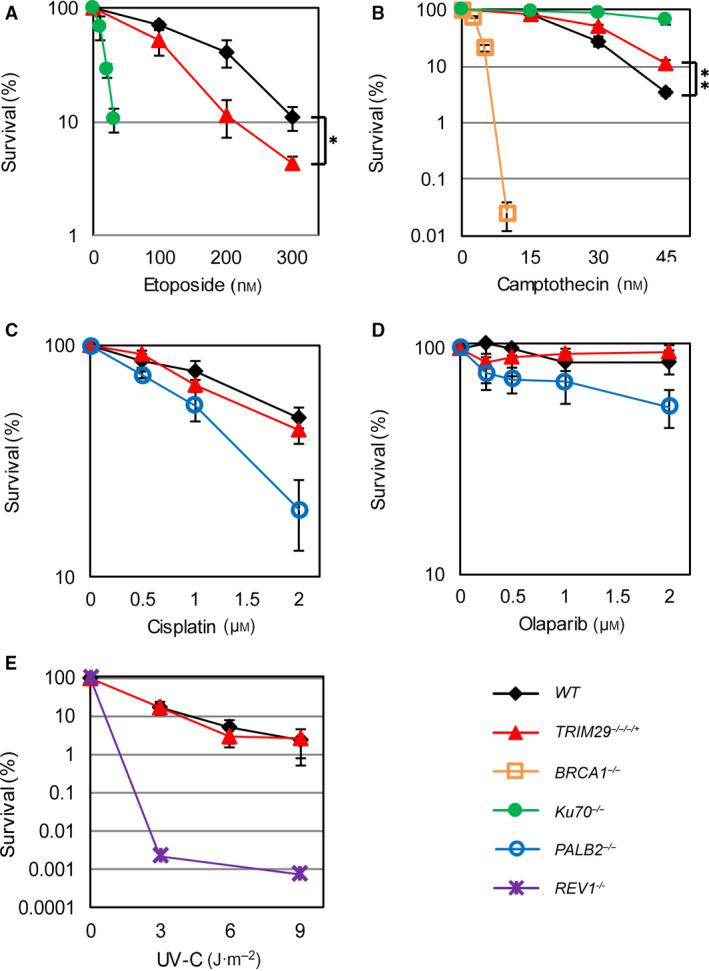 Clonogenic survival assays after genotoxic treatments. Clonogenic survival assays of WT , TRIM29 −/−/−/+ , Ku70 −/− , PALB2 −/− , BRCA1 −/− , and REV1 −/− cells against <t>etoposide</t> (A), camptothecin (B), cisplatin (C), olaparib (D), and UV‐C (E) treatments. Data are the mean ± SD of three independent experiments ( * P ≤ 0.05; ** P ≤ 0.01, percent survival of WT cells versus TRIM29 −/−/−/+ cells, Student's t ‐test).