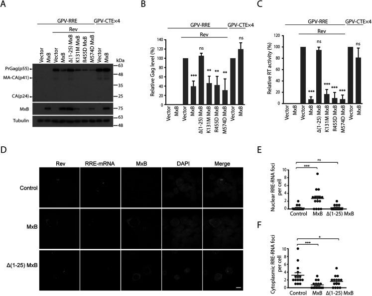 MxB inhibits Rev-dependent Gag expression. (A) MxB-Flag and its mutated <t>DNA</t> were transfected into HEK293T cells together with GPV-RRE and Rev. Expression of Gag, MxB and Tubulin in cell lysates were determined by Western blotting. <t>Transfection</t> experiment was also performed with GPV-CTE-x4 and MxB-Flag to examine the effect of MxB on Rev-independent Gag expression. Protein markers (kDa) are shown on the right side of the gels. (B) Levels of viral Gag proteins in the Western blots were quantified with Image J, the results from three independent experiments are presented in the bar graph. (C) Levels of viral RT activity in the culture supernatants were determined to measure the levels of VLPs. The values from the vector controls are arbitrarily set as 100. Results shown are the average of three independent transfection experiments. (D) Fluorescent in situ RNA hybridization to detect subcellular localization of the GPV-RRE RNA in the control and MxB-expressing cells. The cytoplasmic GPV-RRE RNA foci and nuclear GPV-RRE RNA foci per cell were counted, and the results are shown in (E) and (F). P values were calculated with reference to the vector control. Scale bar represents 10 µm. * indicates p