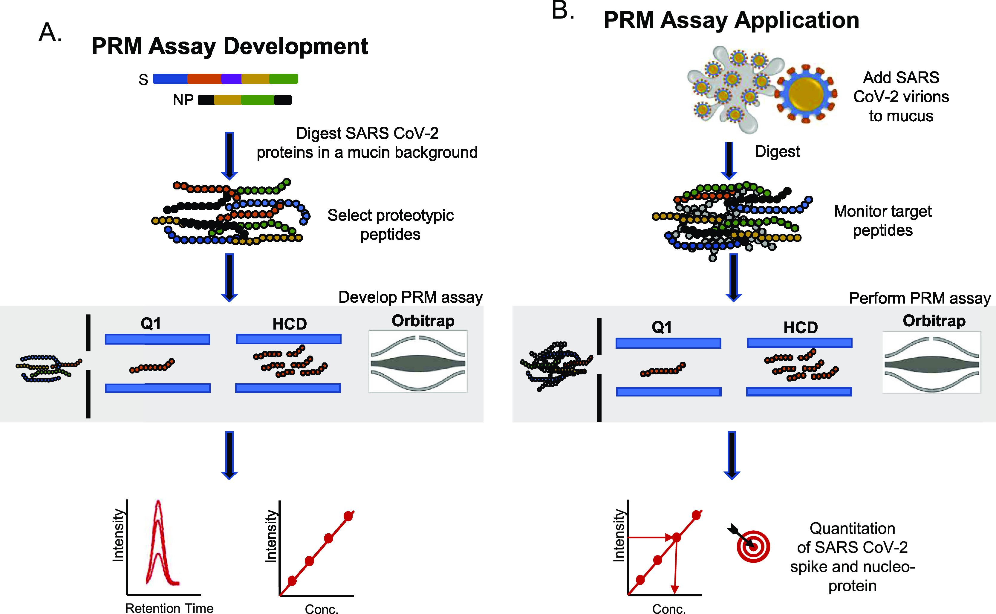 Schematic of the workflow used to develop a PRM assay for the detection and quantitation of SARS-CoV-2 spike and NP (A) PRM assay development was performed using recombinant SARS CoV-2 spike protein and NP. Proteotypic target peptides/transitions were selected to generate a spectral library in Skyline. (B) PRM assay was then used to quantitate the SARS-CoV-2 protein levels in a mock sample that was created by adding an inactivated virus sample to in vitro derived mucus.