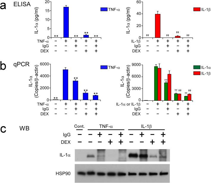 DEX inhibits expression and release of <t>IL-1α</t> by HCAECs in response to inflammatory stimuli. HCAECs were stimulated with 100 ng/ml of TNF-α, or 10 ng/ml of IL-1α or IL-1β, for 48 h in the presence and absence of 10 mg/ml IgG and 1000 nM DEX, alone or in combination. Protein concentrations of IL-1α in HCAEC culture supernatants ( a ) and mRNA levels of IL-1α in HCAECs ( b ) were measured by <t>ELISA</t> and qPCR, respectively. Whole-cell lysates of HCAECs were subjected to WB analysis of the expression of IL-1α and heat shock protein 90 (HSP90; as a loading control) ( c ). Data shown in a and b are the mean ± SD of triplicate samples. All data are representative of two individual experiments using HCAEC lots from different donors. ** P