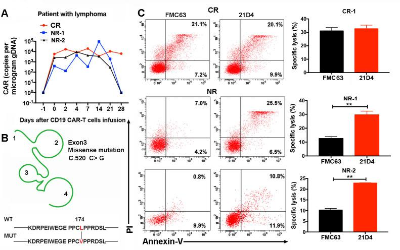21D4 CAR-T cells exhibit a potent cytotoxicity against mutated CD19 + cells derived from patients with no response (NR). (A) Quantitative real-time-PCR analysis of CAR-T cells in peripheral blood. (B) Lymphoma patients with NR had a point mutation in exon 3 (P. 174 L > V/C.520 C > G) of CD19 . (C) FMC63 or 21D4 CAR-T cells were cocultured with mutated CD19 + B cells derived from patients at E:T ratio of 5:1 for 6 hours. Lysis of CD19 + cells was detected and 21D4 CAR-T cells exhibited higher lysis ability than FMC63 CAR-T cells in the patients with NR. **p