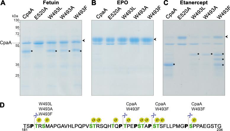 W493 affects CpaA activity. Fetuin (A), EPO (B), and etanercept (C) were incubated with purified CpaA and the different CpaA mutants (∼55 kDa). Samples were separated by SDS-PAGE, and gels were stained with InstantBlue. Digestion products are indicated by asterisks. Undigested products are indicated by arrowheads. These data are representative of at least 3 independent experiments. (D) Fragment of the etanercept protein sequence. MS analysis of proteins bands allowed the identification of the sites preferentially cleaved by the four CpaA variants. All the known O -glycosylation sites are in green, and, the Ps next to the glycosites are in bold. The dashed lines indicate the cleavage sites of CpaA and the different point mutants.