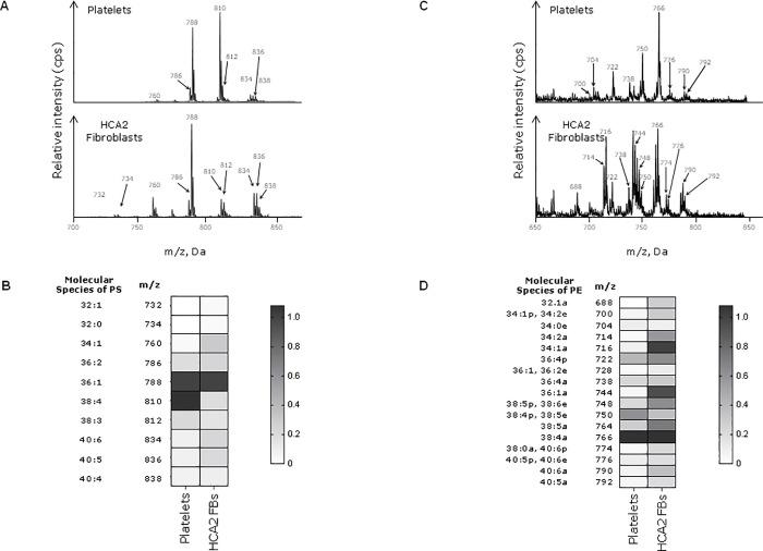 PS/PE species in platelets and fibroblasts. Lipids were extracted from 10 6 unstimulated fibroblasts and 2 x 10 8 freshly-isolated human platelets. PS/PE precursor scans were run using a QTRAP 6500 LC-MS/MS system as specified in materials and methods. Data are representative of three independent experiments. A) Mass spectra of PS species showing the mass-to-charge ratio (m/z) and the relative intensity (cps) of each species. B) PS intensity values from the spectra represented on the Heatmap. C) Mass spectra of PE species. D) Heat map representing PE intensity values. Molecular species refers to the total number of carbon atoms and double bonds in the two fatty acid chains of the phospholipid.