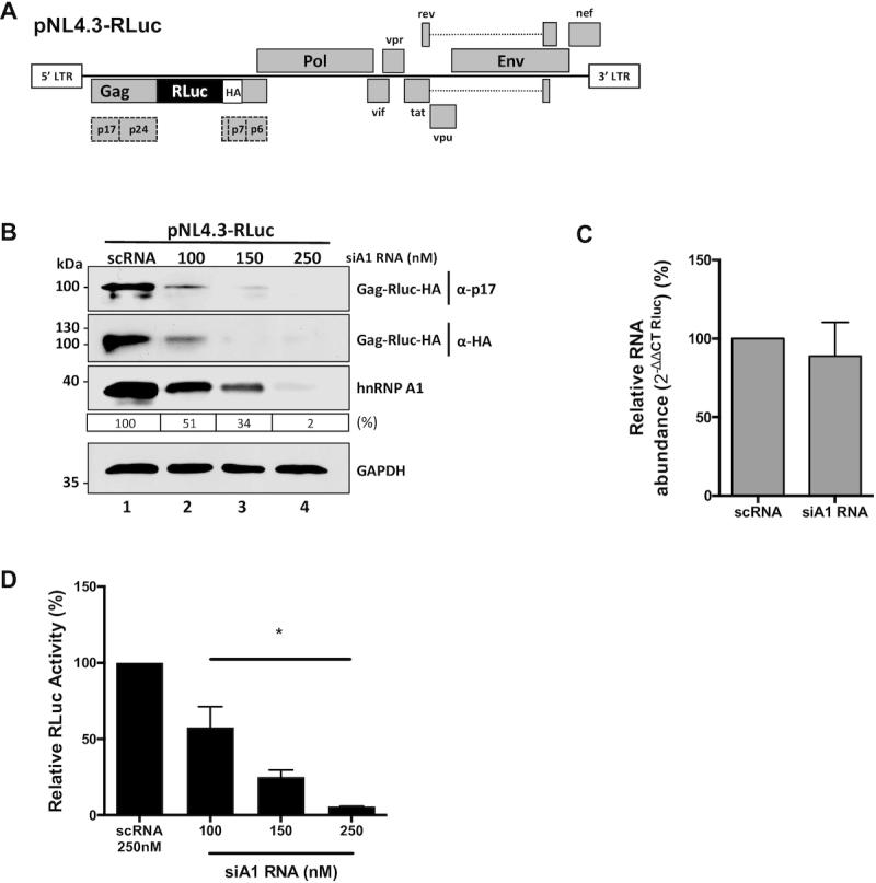 The hnRNP A1 knockdown negatively impacts on Gag protein synthesis from an HIV-1 molecular clone. ( A ) Schematic representation of the complete HIV-1 molecular clone pNL4.3-RLuc described in ( 51 ). ( B ) HEK 293T cells were co-transfected with the pNL4.3-RLuc (200 ng) plasmid and increasing concentrations (100, 150 or 250 nM) of a silencer RNA (siRNA) targeting the hnRNP A1 mRNA (siA1), or with a scrambled RNA (scRNA; 250 nM) as a control. The expression of the Gag-Rluc-HA fusion protein and hnRNP A1 was determined 48 h post-transfection by western blot, using the GAPDH protein as a loading control. The relative level of hnRNP A1 protein (%) was estimated based on the intensity of immunoreactive bands by imageJ, as detailed in Materials and Methods. ( C ) Cytoplasmic RNA was extracted from cells expressing pNL4.3-RLuc HIV-1 and treated with the scRNA (250 nM) or with the siA1 RNA (150 nM), and relative RNA levels were determined by real-time RT-qPCR. The RNA abundance was expressed relative to the value obtained for the cells treated with the scRNA set to 100%. Statistical analysis was performed by an unpaired two-tailed t-test . ( D ) Renilla luciferase activity was measured 48 h post-transfection and is expressed relative to the activity obtained when the pNL4.3-RLuc plasmid was co-transfected with the scRNA. Values represent the mean (±SEM) for three independent experiments, each conducted in duplicate. Statistical analysis was performed by an ordinary one-way ANOVA test (* P