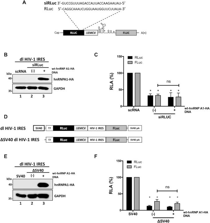 hnRNP A1 does not enhance alternative splicing of the dl HIV-1 IRES RNA nor increases the cryptic promoter activity of the dl HIV-1 IRES DNA. ( A ) Schematic representation of the dl reporter targeted by the siRLuc a siRNA targeting the Renilla luciferase ORF. ( B , C ) The dl HIV-1 IRES (150 ng) was co-transfected with a control scRNA (100 nM) or with siRLuc (100 nM), in the presence, or the absence, of the wt-hnRNP A1-HA (250 ng) plasmid. Total protein extracts were prepared 48 hrs post-transfection. ( B ) The expression of the wt-hnRNP A1-HA recombinant protein was determined by western blot, using the GAPDH protein as a loading control. ( C ) RLuc and FLuc activities were measured and expressed as RLA relative to the values obtained with scRNA, set to 100%. ( D–F ) HEK 293T cells were transfected with either the dl HIV-1 IRES (150 ng) or a promoterless ΔSV40-dl HIV-1 IRES (150 ng) vector ( D ) in the presence, or the absence (-), of the wt-hnRNP A1-HA (250 ng) plasmid. 24 hrs post-transfection total protein extracts were prepared. ( E ) The expression of the hnRNP A1-HA recombinant protein was determined by western blot, using the GAPDH protein as a loading control. ( F ) RLuc and FLuc activities were measured, and results are expressed as RLA relative to the activities obtained from the dl HIV-1 IRES vector when in the absence of the wt-hnRNP A1-HA, set to 100%. Values shown are the mean (±SEM) for three independent experiments, each performed in duplicate. Statistical analysis was performed by an ordinary two-way ANOVA test (* P