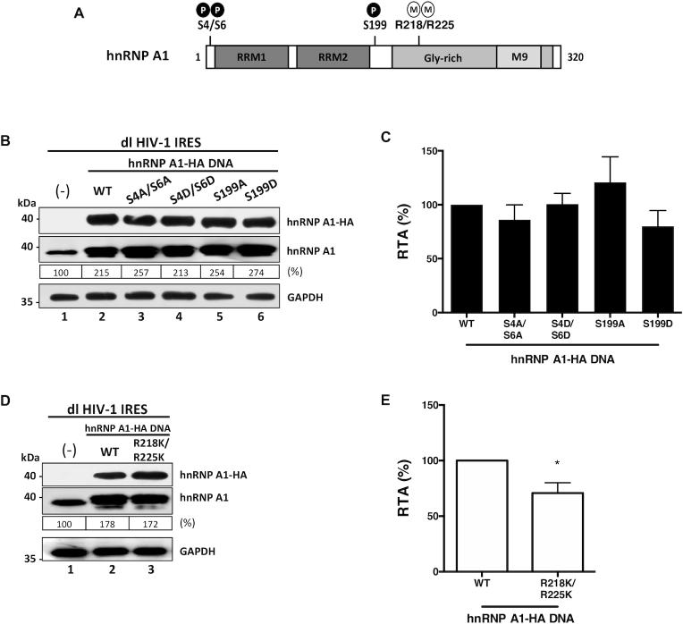 hnRNP A1 post-translational modifications impact on HIV-1 IRES activity. ( A ) hnRNP A1-HA mutants for the phosphorylation sites S4/S6 and S199, or methylation sites R218/R225 were generated by site-directed mutagenesis of the wt-hnRNP A1-HA template plasmid. ( B – E ) HEK 293T cells were co-transfected with the dl HIV-1 IRES (300 ng) together with each hnRNP A1-HA (500 ng) plasmid. Total protein extracts were prepared 24 h post-transfection. ( B , D ) Western blots were performed to detect the expression level of total hnRNP A1 and hnRNP A1-HA proteins using GAPDH as a loading control. ( C , E ) RLuc and FLuc activities were measured, and results are presented as RTA, relative to the activities in the presence of the wt-hnRNP A1-HA, set to 100%. Values shown are the mean (±SEM) for three independent experiments, each performed in duplicate. Statistical analysis was performed by an unpaired two-tailed t -test (* P