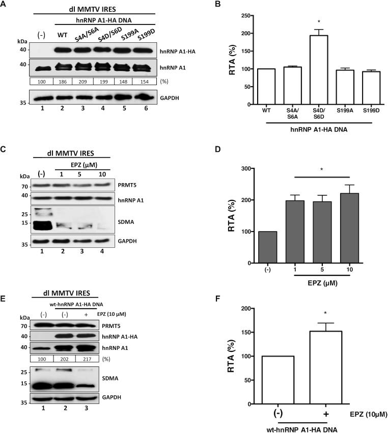 MMTV IRES activity is stimulated by S6K2-associated hnRNP A1 phosphorylations but inhibited by PRMT5 activity and PRMT5-induced hnRNP A1 methylations. ( A , B ) hnRNP A1-HA S4/S6 or S199 mutant plasmids (500 ng) were co-transfected with the dl MMTV IRES plasmid (300 ng). Total protein extracts were prepared 24 h <t>post-transfection.</t> ( A ) Western blots were performed to detect the expression level of total hnRNP A1 and hnRNP A1-HA proteins using GAPDH as a loading control. ( B ) RLuc and FLuc activities were measured, and results are presented as RTA, relative to the activities obtained from the dl MMTV IRES vector in the presence of the wt-hnRNP A1-HA protein, set to 100%. Statistical analysis was performed by an ordinary one-way ANOVA test (* P