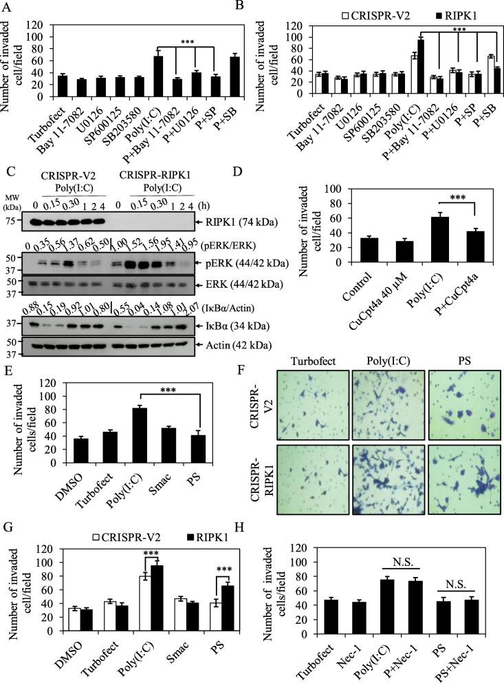 Smac mimetic reverses TLR3 ligand, Poly(I:C)-induced invasion in CCA cells. a KKU213 cells were pretreated with 10 μM Bay11–7082, 10 μM U0126, 20 μM SP600125 or 10 μM SB203580 for 30 min followed by transfection with TurboFect or 2.5 μg/ml Poly(I:C) for 12 h and then subjected to invasion assay. b CRISPR-V2 and CRISPR-RIPK1 KKU213 cells were treated as in ( a ) for 12 h and then subjected to invasion assay. c KKU213 cells were transfected with TurboFect or 2.5 μg/ml Poly(I:C) for indicated time points and cell lysates were collected, after that RIPK1, pERK, and IκBα were analyzed by Western blot analysis. Total ERK and β-actin were served as loading control. Data shown was a representative of two independent experiments. d KKU213 cells were pretreated with DMSO control or TLR3 inhibitor, CuCpt4a for 1 h followed by transfection with TurboFect or 2.5 μg/ml Poly(I:C) for 12 h and then subjected to invasion assay. e KKU213 cells were pretreated with 5 nM Smac mimetic for 2 h followed by transfection with 2.5 μg/ml Poly(I:C) for 12 h and then subjected to invasion assay. f Representative images of CRISPR-V2 and CRISPR-RIPK1 invaded cells stained with crystal violet. g Quantification of number of CRISPR-V2 and CRISPR-RIPK1 KKU213 invaded cells treated with 5 nM Smac mimetic, 2.5 μg/ml Poly(I:C) alone or the combination treatment for 12 h. h KKU213 cells were pretreated with RIPK1 inhibitor (Nec-1) with or without 5 nM Smac mimetic followed by transfection with 2.5 μg/ml Poly(I:C) for 12 h. Number of invaded cells were counted. Data from three independent experiments was presented as mean ± S.D.; * p