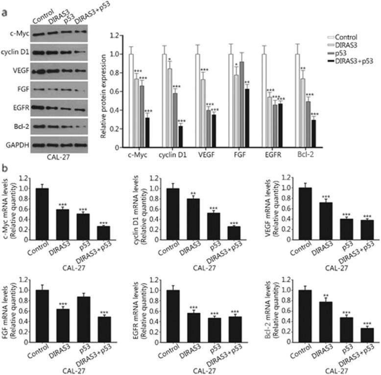 DIRAS3 and p53 re-expression inhibits the expression of multiple oncogenes in HNSCC cells. a. CAL-27 cells were treated with Ad-DIRAS3, rAd-p53, and their combination for 24 h. Ad-GFP was used as a negative control. The expression of c-Myc, cyclin D1, VEGF, FGF, EGFR and Bcl-2 proteins was determined by western blotting. b. Relative mRNA levels of c-Myc, cyclin D1, VEGF, FGF, EGFR and Bcl-2 were examined by real-time PCR. ** P
