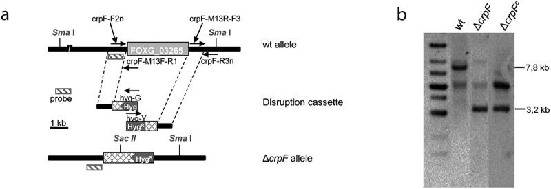 Targeted deletion of the F. oxysporum crpF gene. (a) Targeted gene replacement strategy using a disruption construct obtained by fusion PCR with Hyg R cassette as selective marker. Relative positions of primers used for PCR and probe (dashes bars) are indicated. (b) Southern blot analysis of gDNA from wt strain and transformants. gDNAs were digested with Sma I and Sac II to detect deletion and complementation of crpF . The Southern blot image provided comes from two nitrocellulose membranes. The images were manipulated with the objective of only show the interesting transformants.