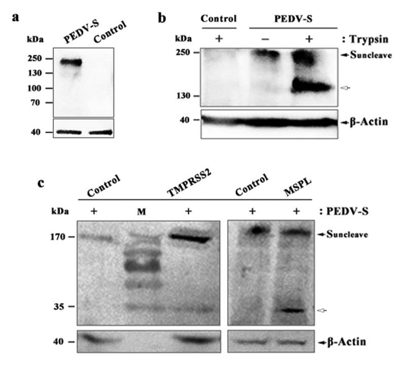 Proteolytic activation of PEDV S protein in Vero, Vero/TMPRSS2 and Vero/MSPL cells. (a) The expression of PEDV S genes in the Vero cells. Vero cells were transfected with PEDV-S plasmids (pCMV-HA-S encoding PEDV LJB/03 S protein with a HA tag) and the expression of PEDV S genes in the Vero cells were detected by western blot with anti-HA monoclonal antibody after 72 h post-transfection. Empty pCMV-HA plasmid as control. (b and c) Cleavage of PEDV S protein in Vero cells (with or with trypsin), Vero/TMPRSS2 and Vero/MSPL cells. Arrows indicate either uncleaved S protein (black arrows) or N-terminal cleavage S protein products (white arrow). Empty pCMV-HA plasmid as control.