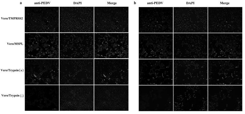 Immunofluorescence of Vero/TMPRSS2, Vero/MSPL, and Vero cells (without or with 3 μg/mL trypsin) infected by PEDV isolates 2013-A and NJ at an MOI = 0.01. (a) The fluorescence intensity was observed in trypsin-dependent PEDV 2013-A at 48 h post-infection. (b) The fluorescence intensity of trypsin-dependent PEDV NJ at 48 h post-infection.