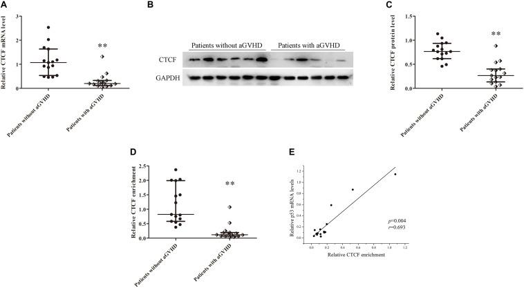 CTCF downregulation results in low expression of p53 in CD4 + T cells from patients with aGVHD. (A) Relative mRNA levels of CTCF in CD4 + T cells from patients with aGVHD ( n = 15) and those without aGVHD ( n = 15), normalized to GAPDH. (B) Representative Western blotting results for CTCF protein expression in CD4 + T cells from patients with aGVHD ( n = 10) and those without aGVHD ( n = 10). (C) Quantitative analysis of band intensities for CTCF protein, normalized to GAPDH expression. (D) ChIP-qPCR analysis of CTCF enrichment in the p53 promoter in chromatin fractions extracted from CD4 + T cells from patients with aGVHD ( n = 15) and individuals without aGVHD ( n = 15). Values are relative to those obtained with input DNA prepared from untreated chromatin. (E) Correlation between CTCF enrichment and p53 mRNA levels in CD4 + T cells from aGVHD cases ( n = 15). ( ∗∗ P