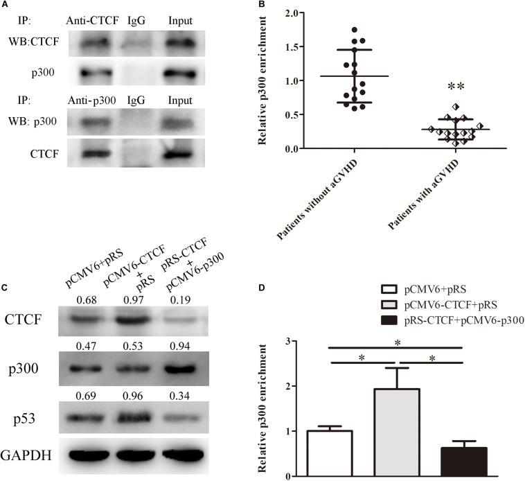 CTCF recruits p300 for interaction with the p53 promoter. (A) Co-immunoprecipitation with anti-CTCF (upper panel) or anti-p300 (lower panel) antibodies in Jurkat cells after CTCF and p300 overexpression; detection of the CTCF and p300 complex was performed by Western blotting. (B) ChIP-qPCR analysis of p300 enrichment in the p53 promoter in chromatin fractions extracted from CD4 + T cells from patients with aGVHD ( n = 15) and individuals without aGVHD ( n = 15). Values are relative to those obtained with input DNA prepared from untreated chromatin. (C) Representative Western blotting results for p53 protein expression in CD4 + T cells after CTCF or p300 overexpression and CTCF silencing. Data are mean ± SD from three independent experiments. (D) ChIP-qPCR analysis of p300 enrichment in the p53 promoter in chromatin fractions extracted from CD4 + T cells after CTCF or p300 overexpression and CTCF knockdown. Values are relative to those obtained with input DNA prepared from untreated chromatin. Data are mean ± SD from three independent experiments. ∗ P
