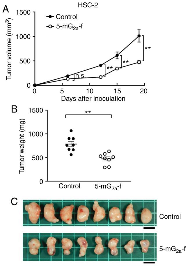 Evaluation of antitumor activity of 5-mG 2a -f (from day 1) in HSC-2 ×enografts. (A) HSC-2 cells (5×10 6 cells) were injected subcutaneously into the left flank. After day 1, 100 µg of 5-mG 2a -f and control mouse IgG in 100 µl PBS were injected i.p. into treated and control mice, respectively. Additional antibodies were then injected on days 7 and 14. Tumor volume was measured on days 6, 12, 15, and 19. Values are mean ± SEM. Asterisk indicates statistical significance (**P