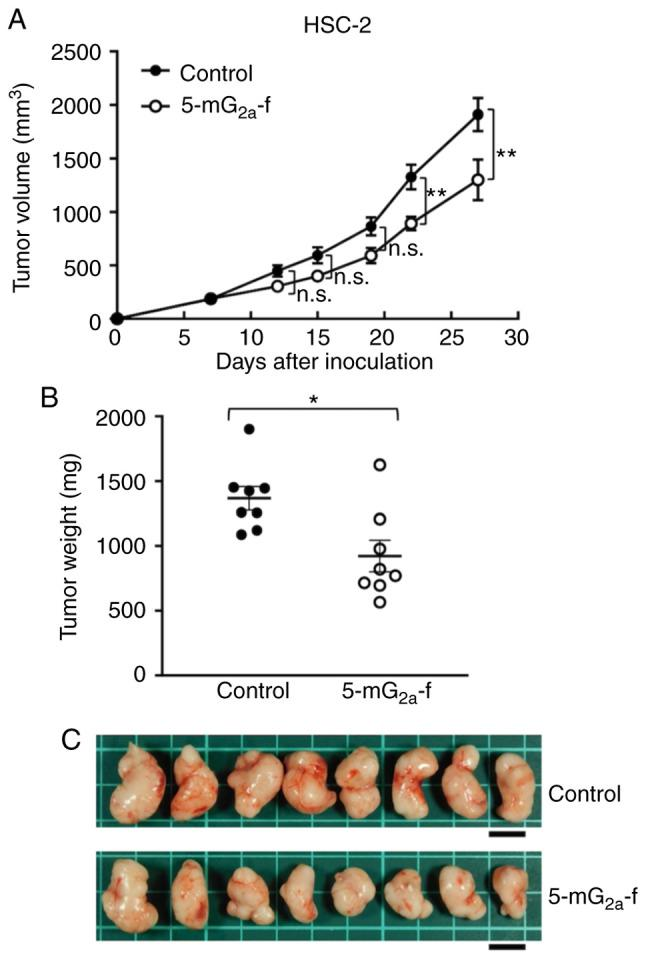Evaluation of antitumor activity of 5-mG 2a -f (from day 7) in HSC-2 ×enografts. (A) HSC-2 cells (5×10 6 cells) were injected subcutaneously into the left flank. After day 7, 100 µg of 5-mG 2a -f and control mouse IgG in 100 µl PBS were injected i.p. into treated and control mice, respectively. Additional antibodies were then injected on days 14 and 21. Tumor volume was measured on days 7, 12, 15, 19, 22, and 27. Values are mean ± SEM. Asterisk indicates statistical significance (**P
